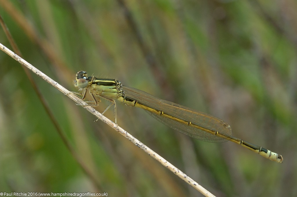 Scarce Blue-tailed (Ischnura pumilio) - immature male