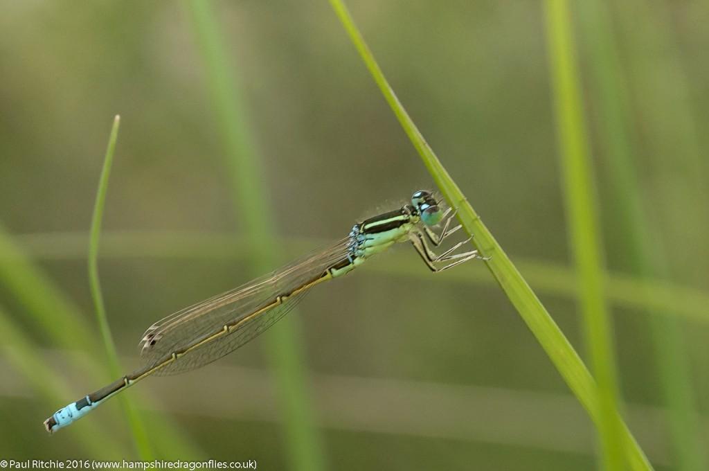 Scarce Blue-tailed (Ischnura pumilio) - male