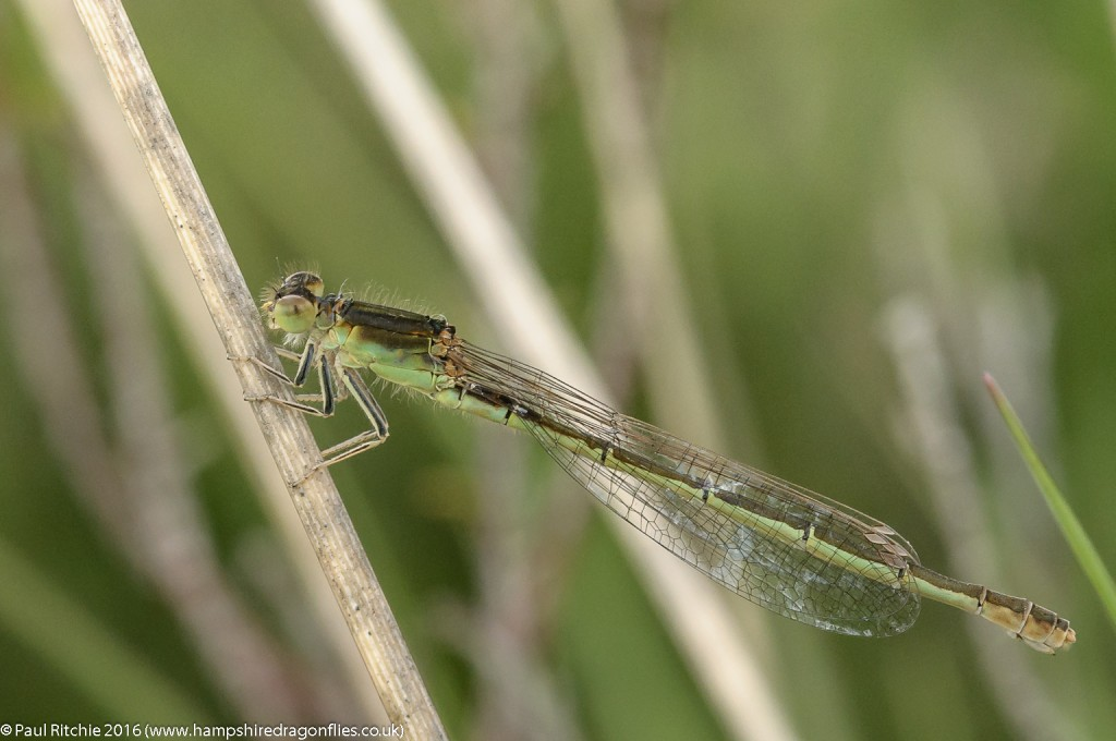 Scarce Blue-tailed (Ischnura pumilio) - mature female