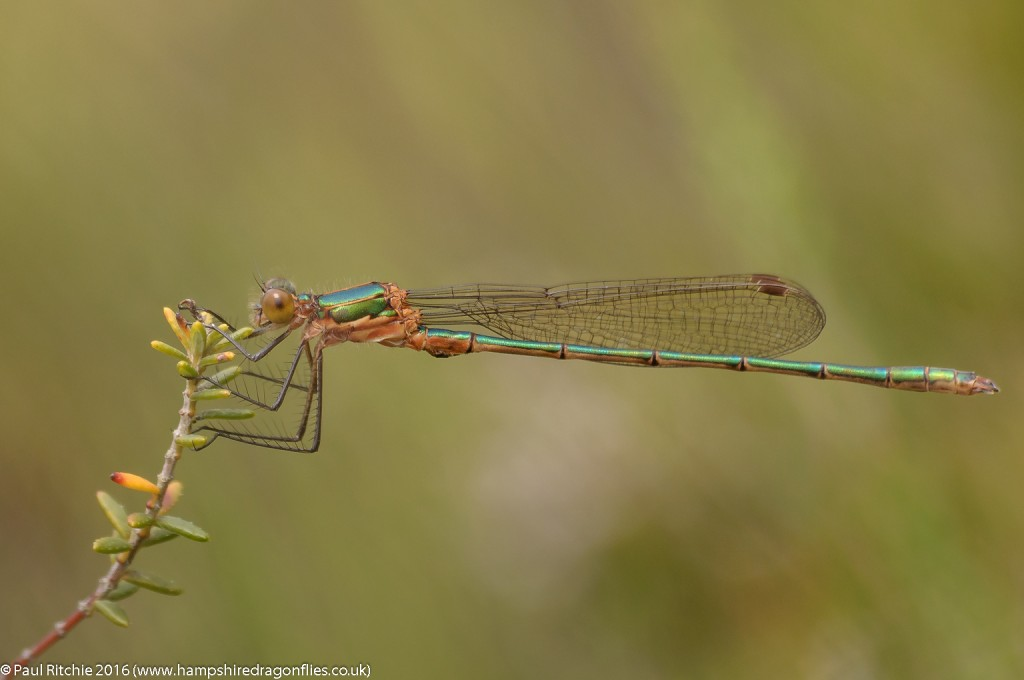 Common Emerald (Lestes sponsa) - immature male
