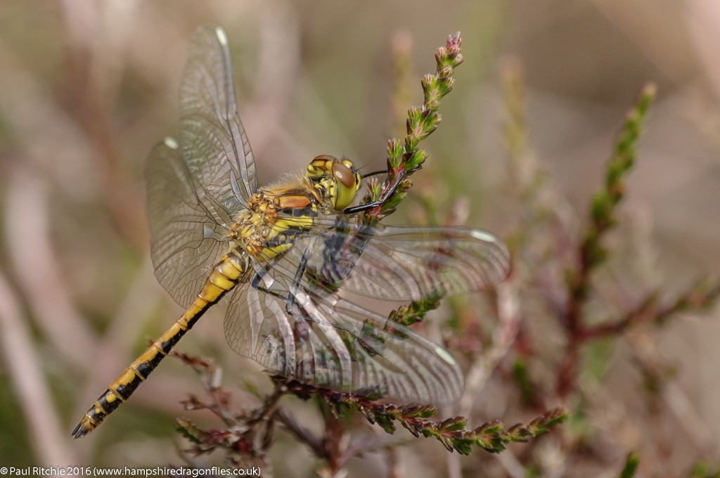 Black Darter (Sympetrum danae) - immature male