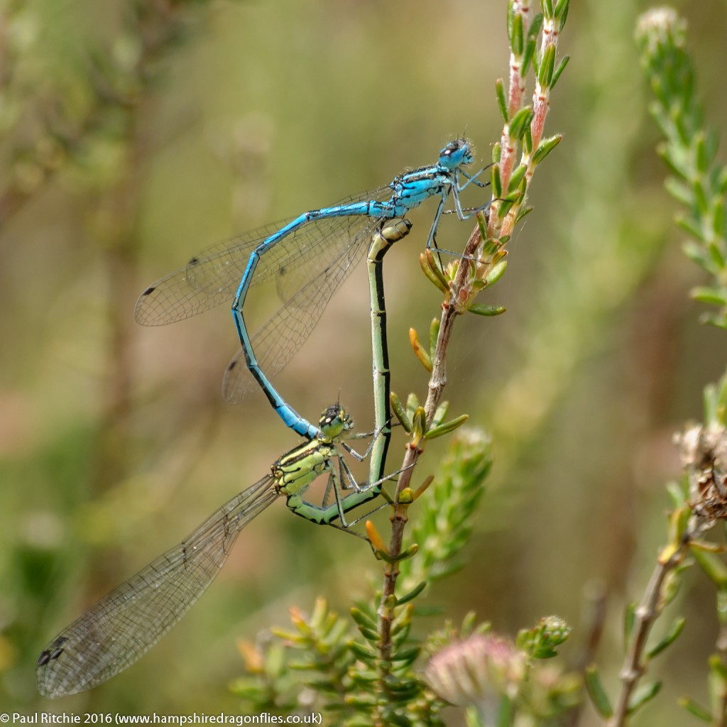 Azure (Coenagrion puella) - pair in cop