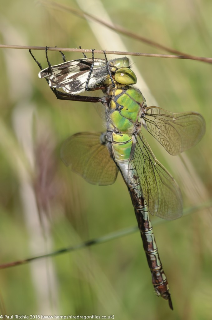 Emperor (Anax imperator) - female feeding on Marbled White