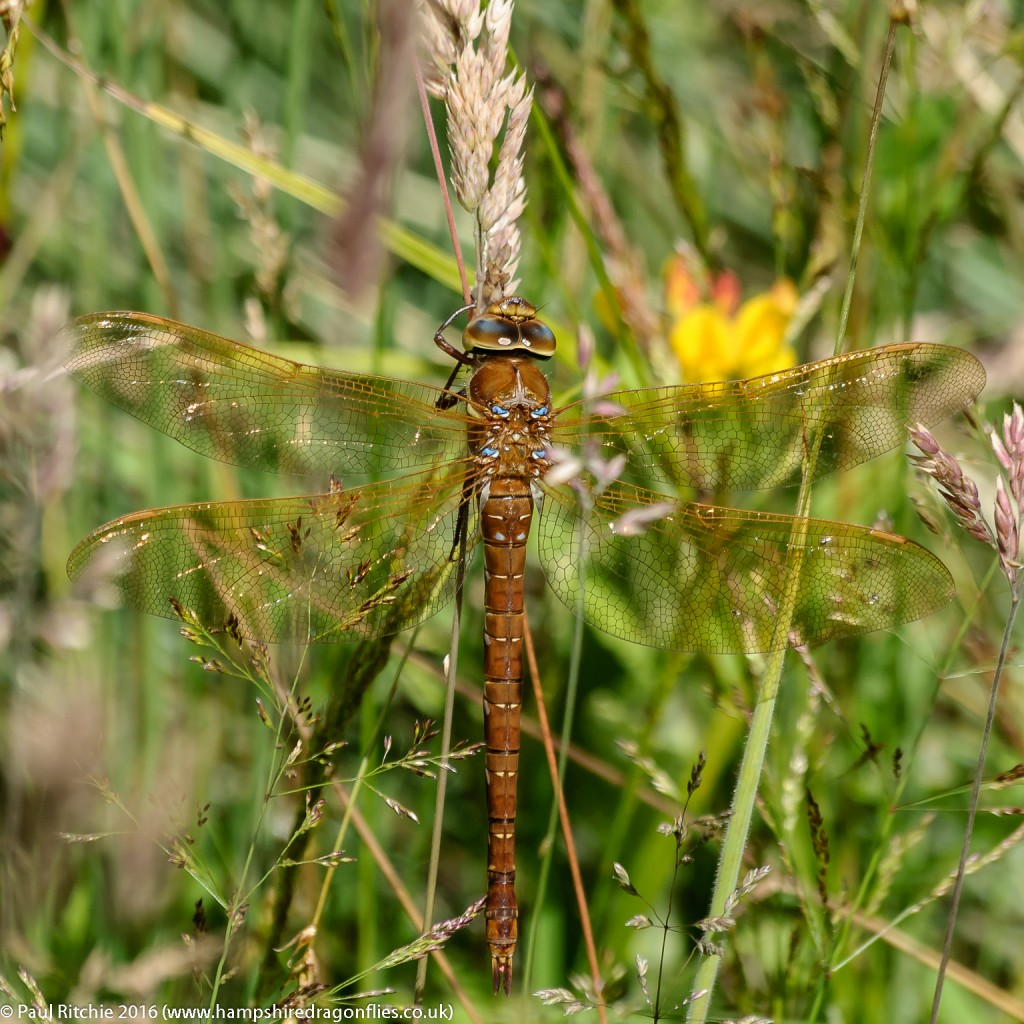 Brown Hawker (Aeshna grandis) - female