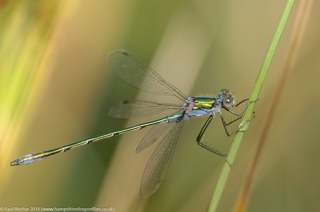 Common Emerald (Lestes sponsa) - male