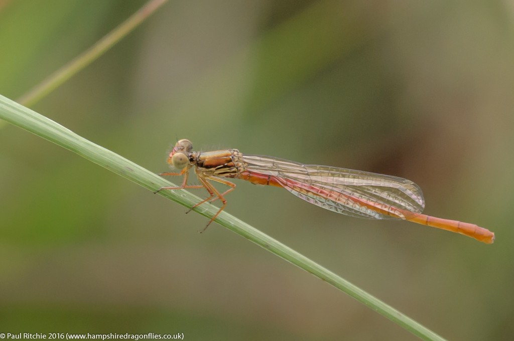 Small Red Damselfly (Ceriagrion tenellum) - teneral male