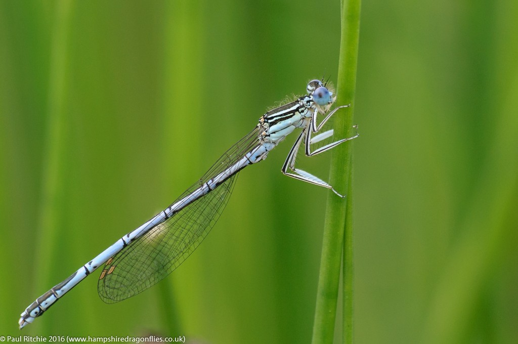 White-legged Damselfly (Platycnemis pennipes) - male