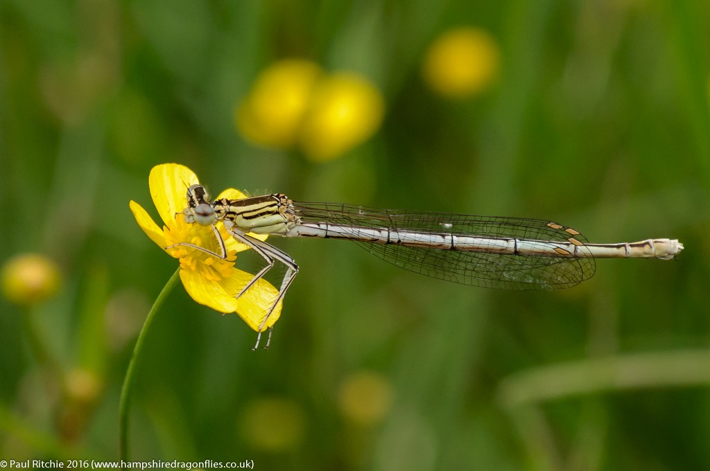 White-legged Damselfly (Platycnemis pennipes) - female