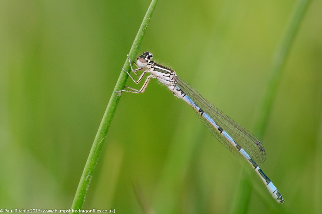 Southern Damselfly (Coenagrion mercuriale) - immature male