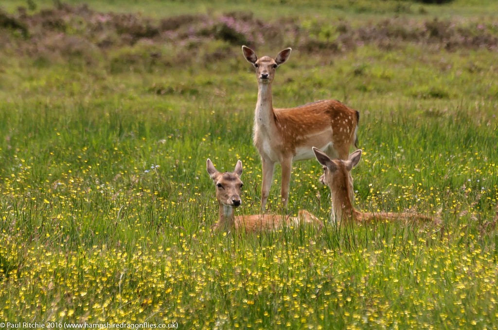 Fallow Deer relaxing in the meadow.