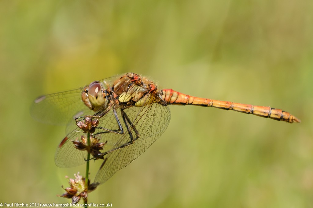 Common Darter (Sympetrum striolatum) - immature male