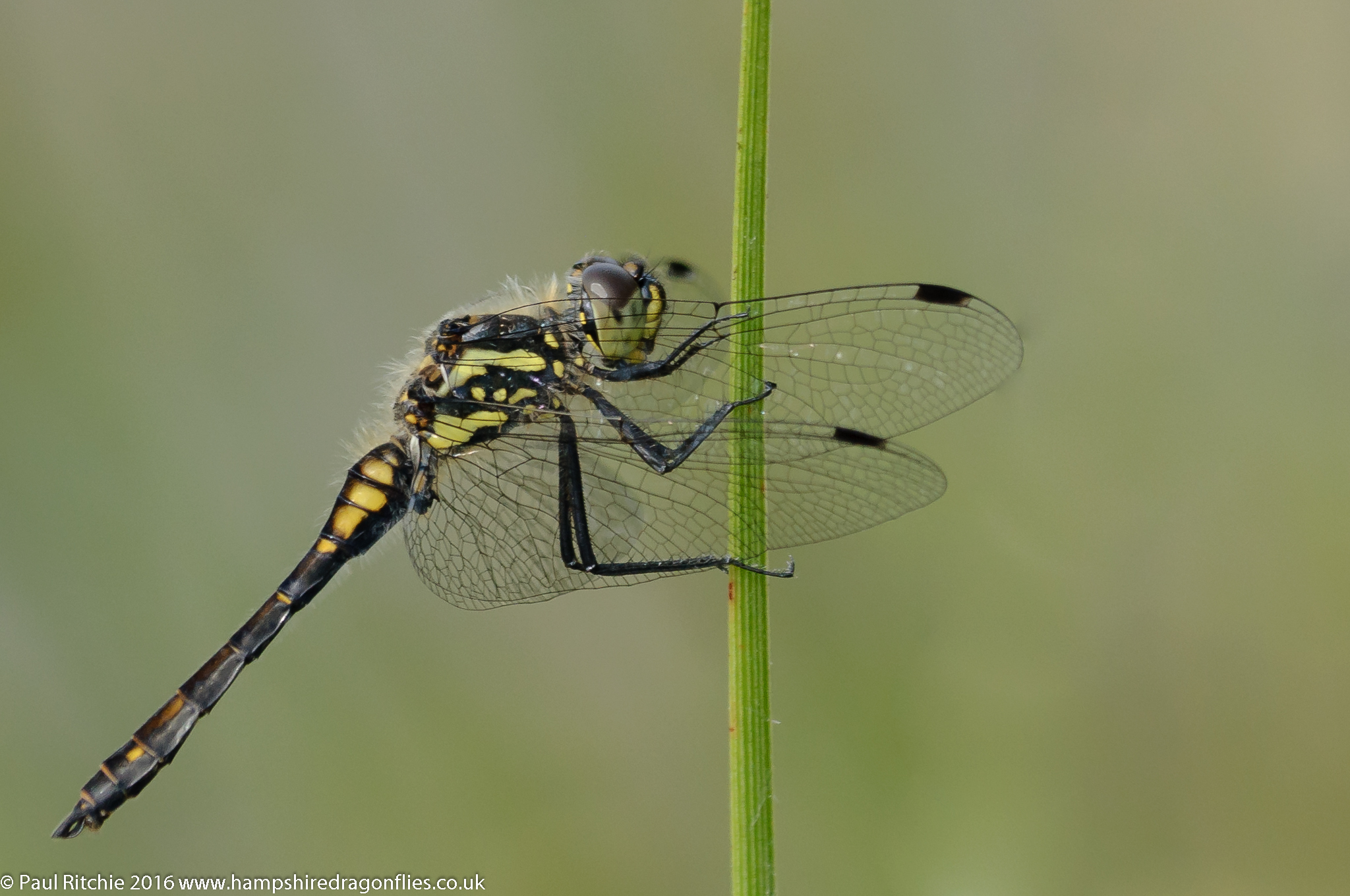 Black Darter (Sympetrum danae) - male,