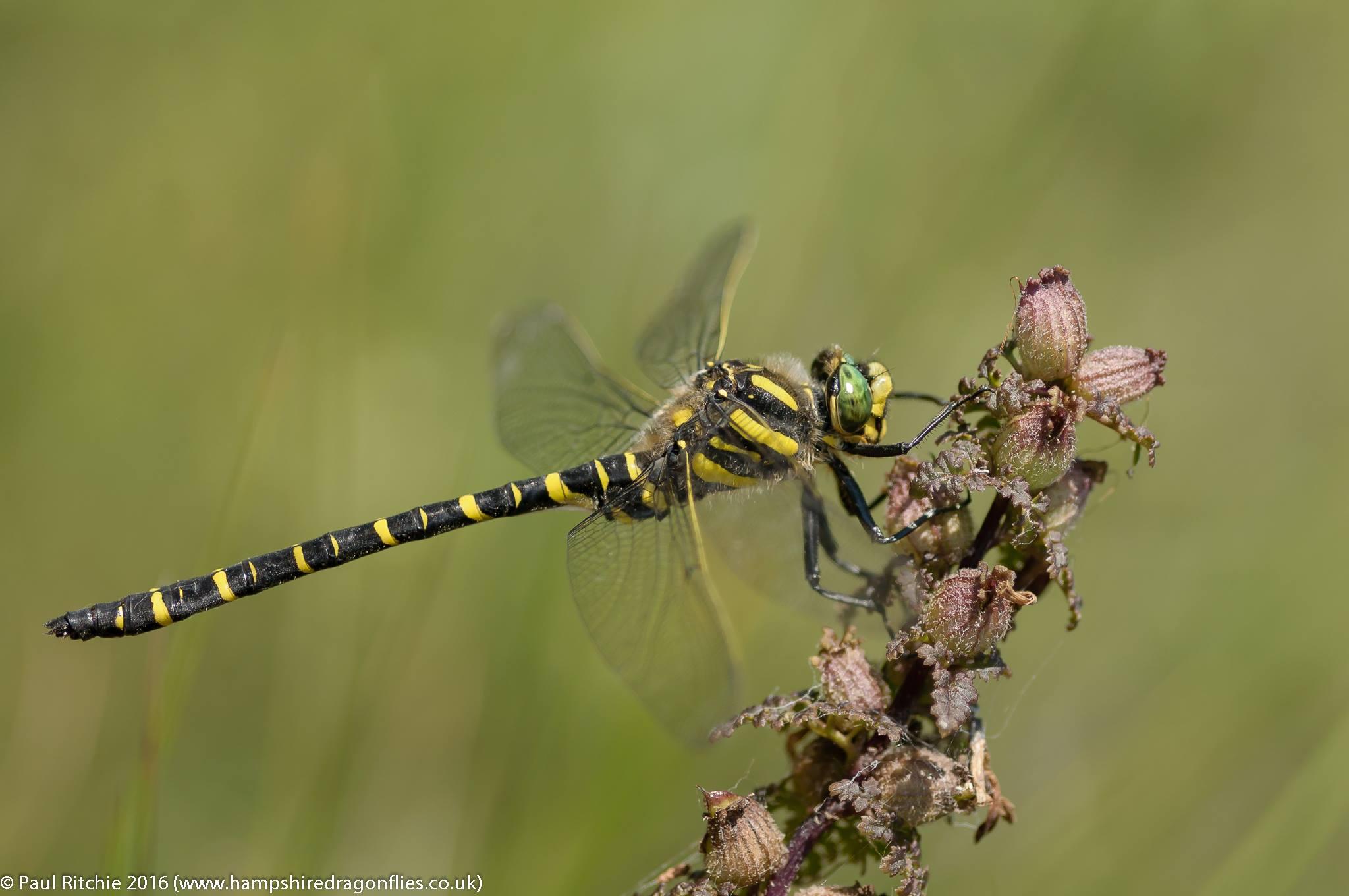 Golden Ringed Dragonfly (Cordulegaster boltonii) - male
