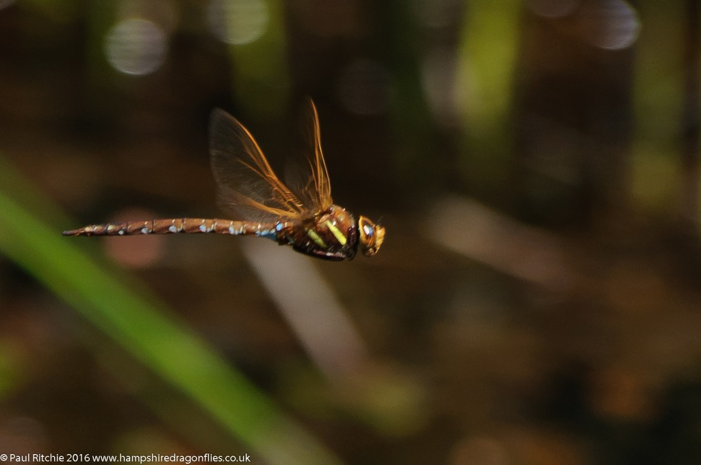 Brown Hawker (Aeshna grandis) - male in-flight