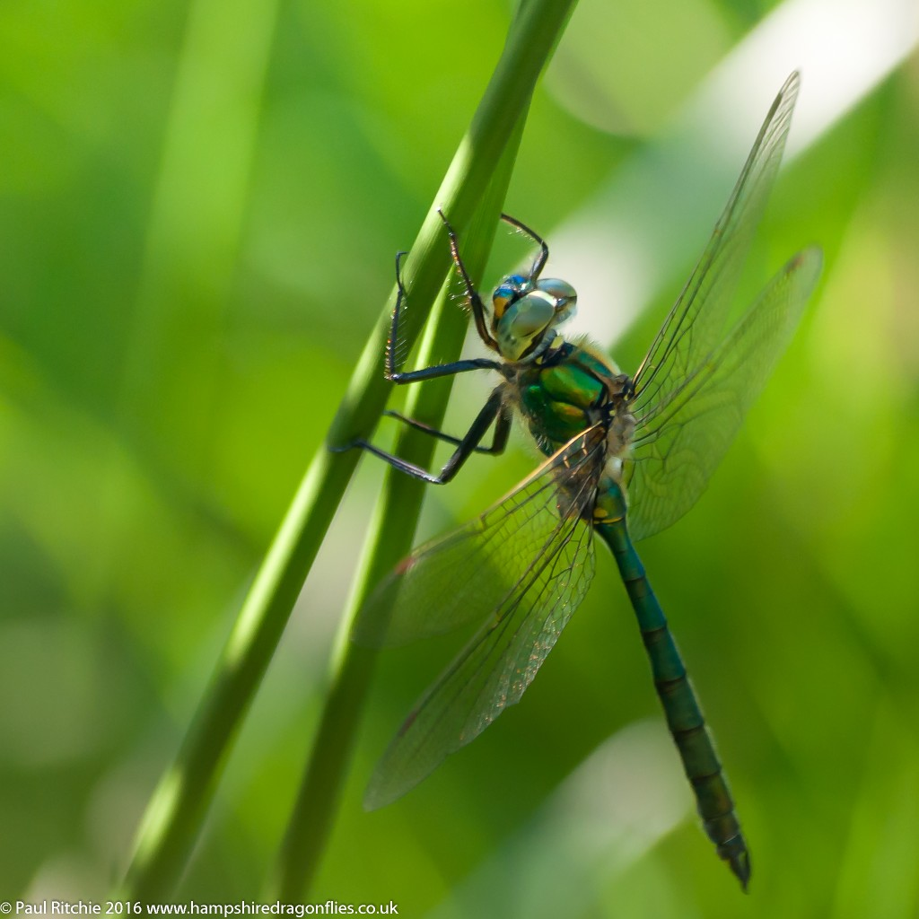 Brilliant Emerald (Somatochlora metallica) - male
