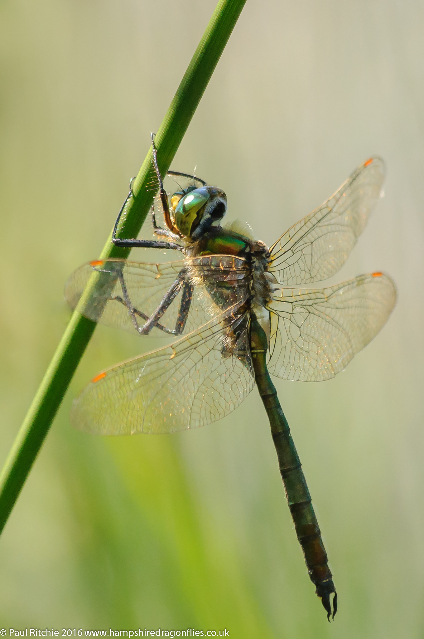 Brilliant Emerald (Somatochlora metallica) - male