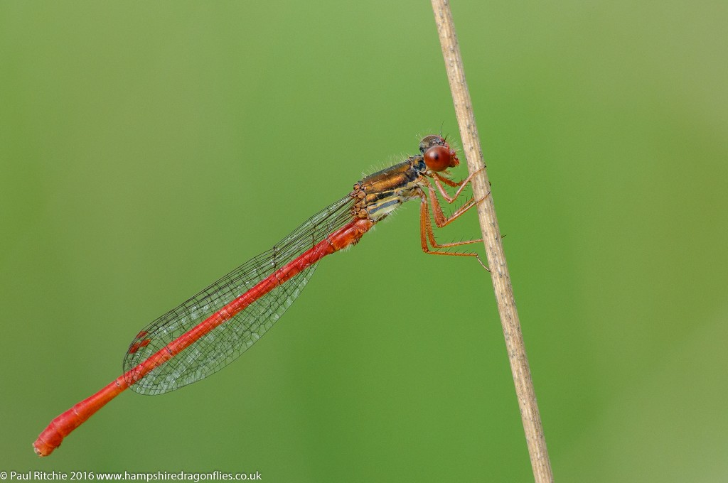 Small Red Damselfly (Ceriagrion tenellum) - male