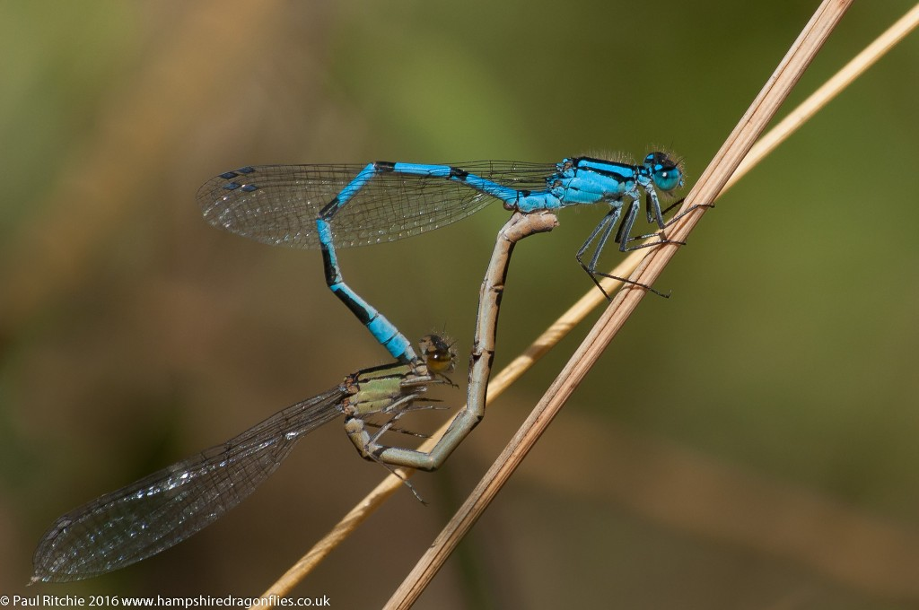 Common Blue (Enallagma cyathigerum) - pair in-cop