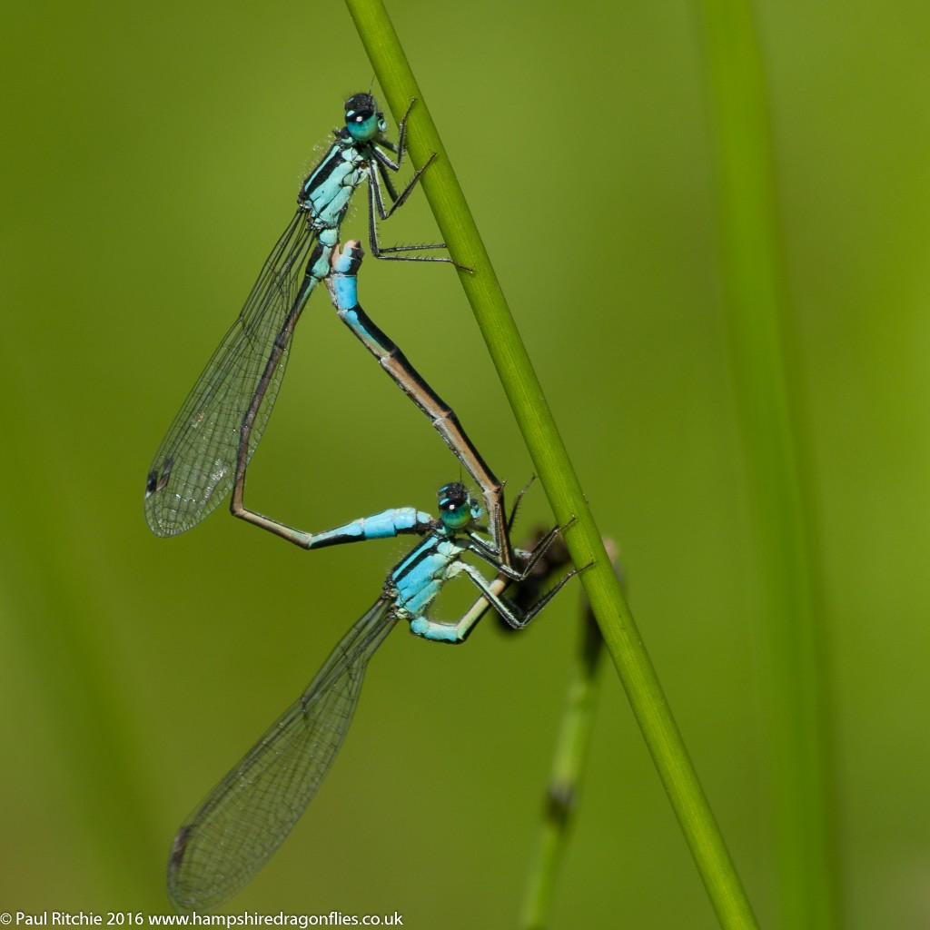 Blue-tailed Damselfly (Ischnura elegans) - pair in-cop