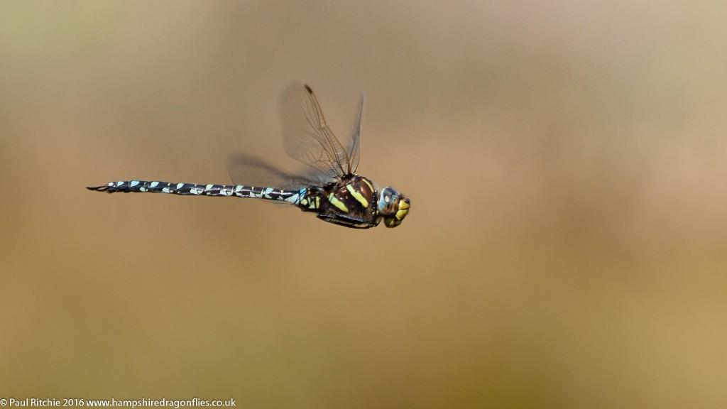 Moorland Hawker (Aeshna juncea) - male