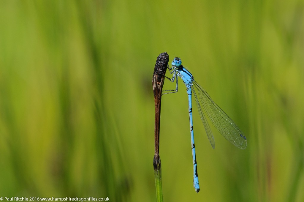 Common Blue Damselfly (Enallagma cyathigerum) - male