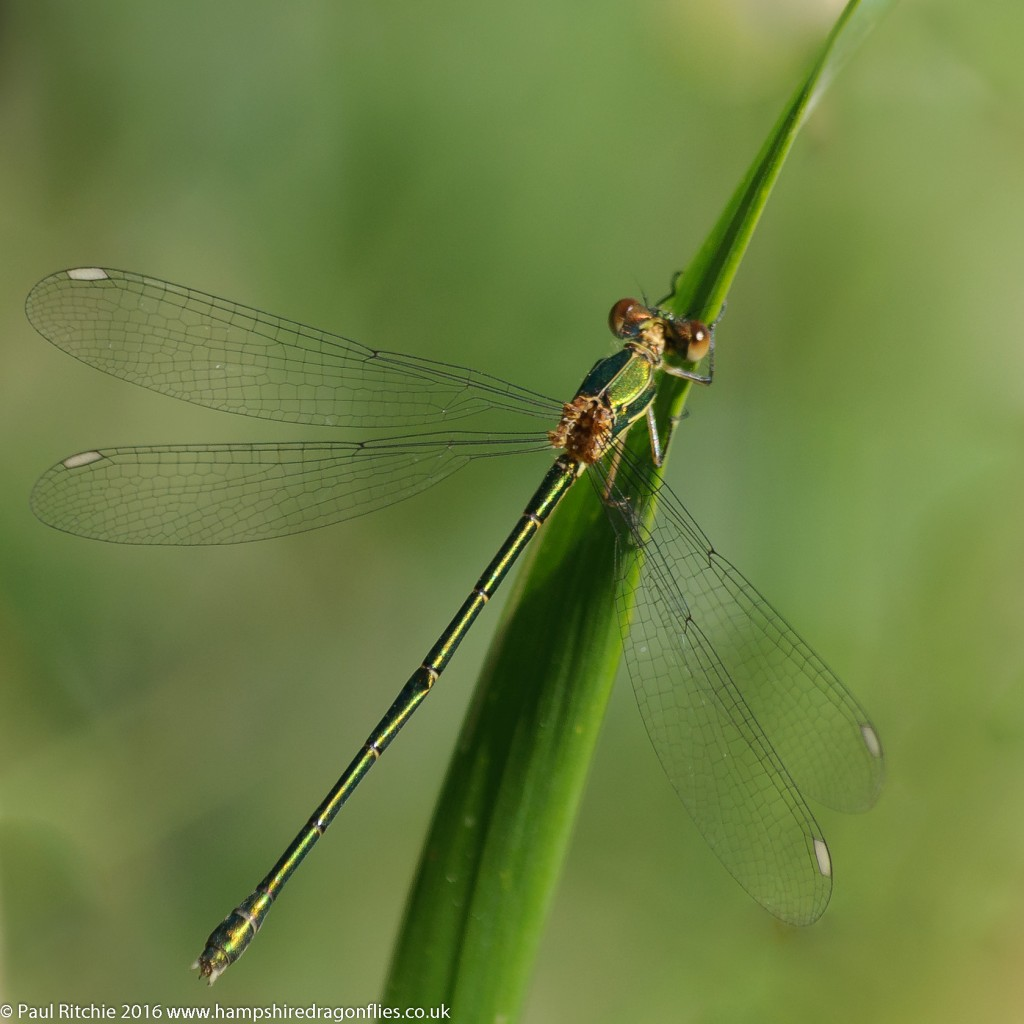Willow Emerald (Lestes viridis) - immature male