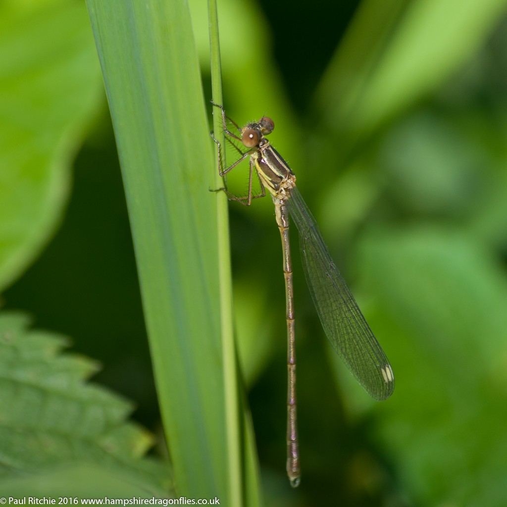 Willow Emerald (Chalcolestes viridis) - teneral male
