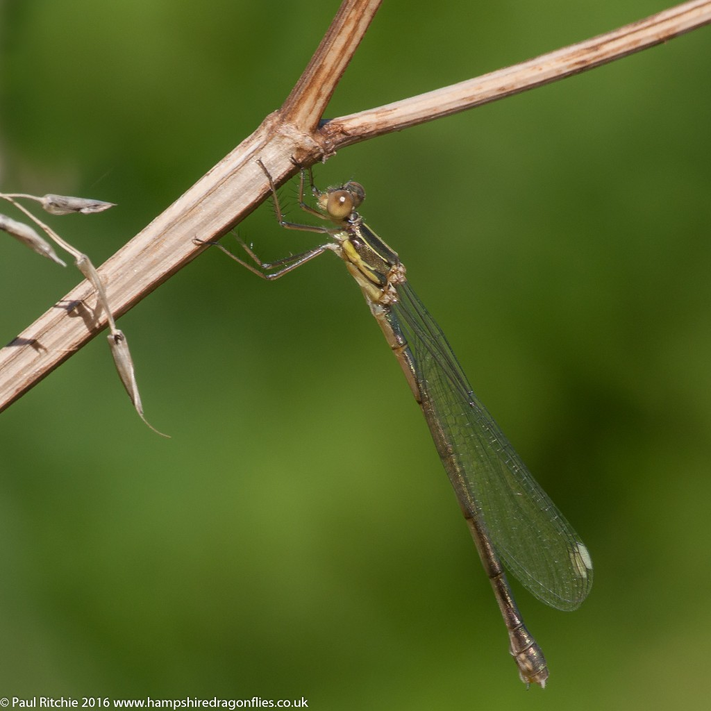 Willow Emerald (Chalcolestes viridis) - teneral female