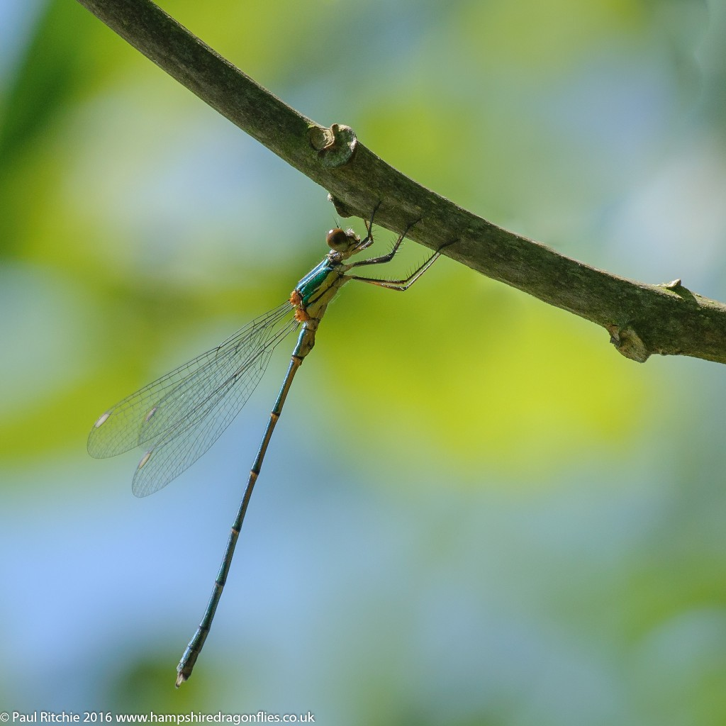 Willow Emerald (Chalcolestes viridis) - immature male