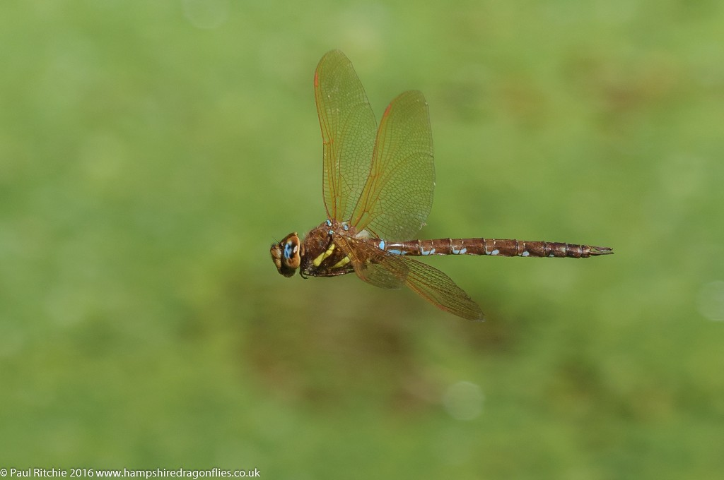 Brown Hawker (Aeshna grandis) - male