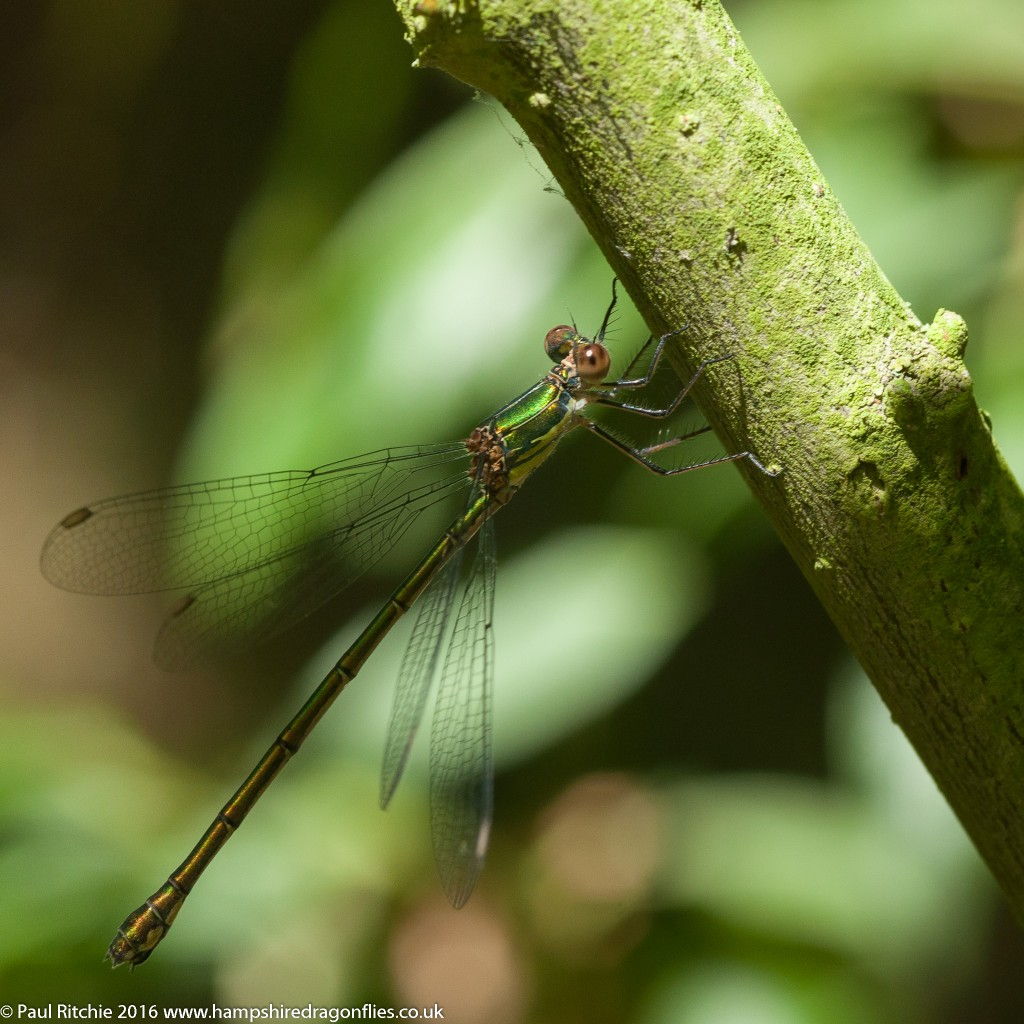Willow Emerald (Chalcolestes viridis) - immature female