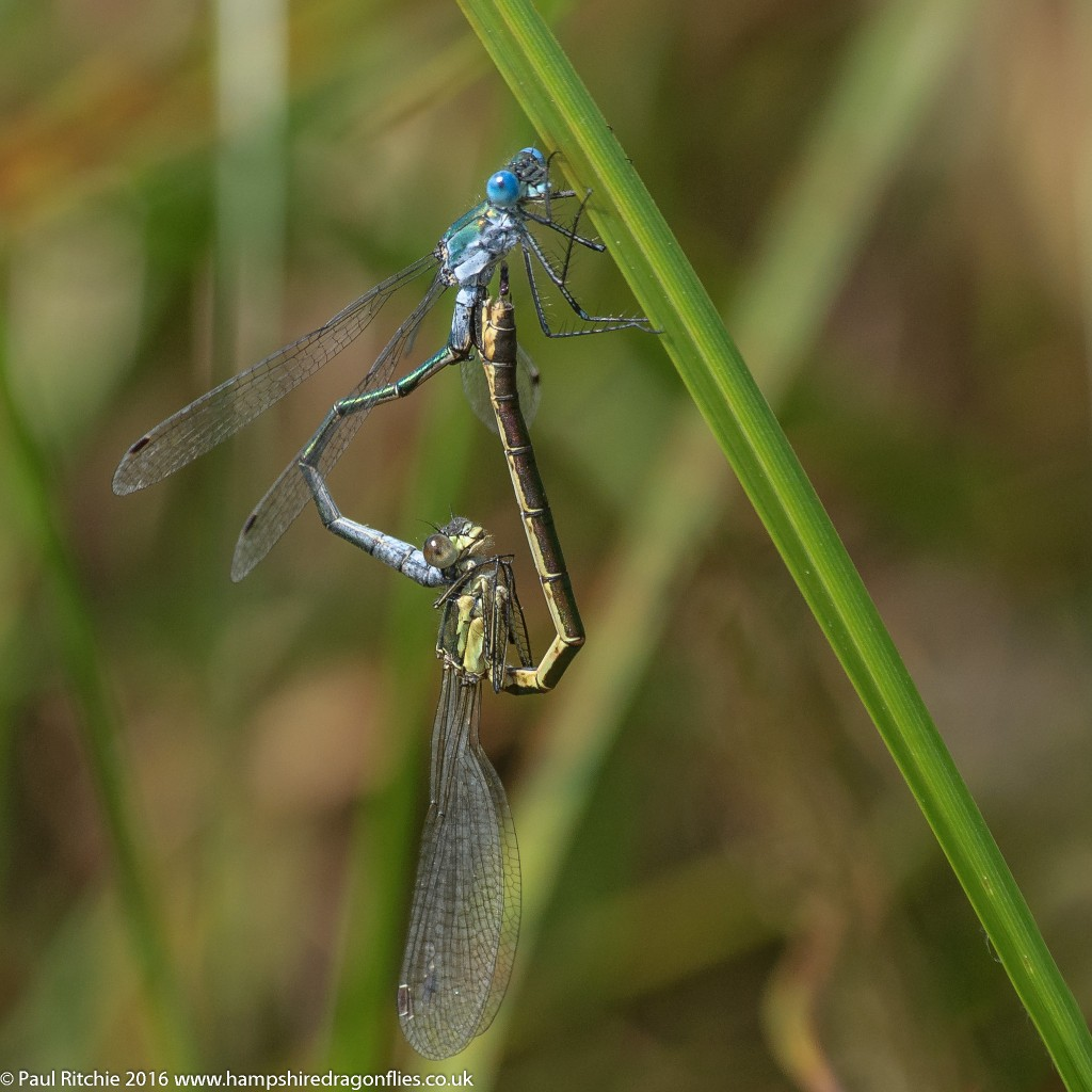 Scarce Emerald Damselfly (Lestes dryas) - pair in-cop