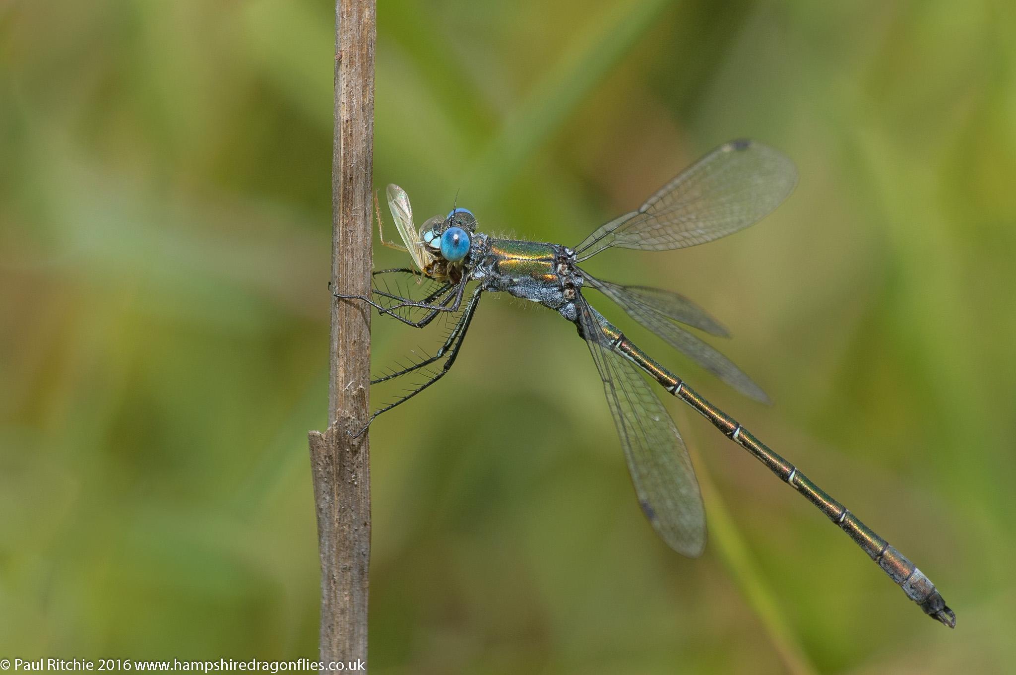 Scarce Emerald Damselfly (Lestes dryas) - male