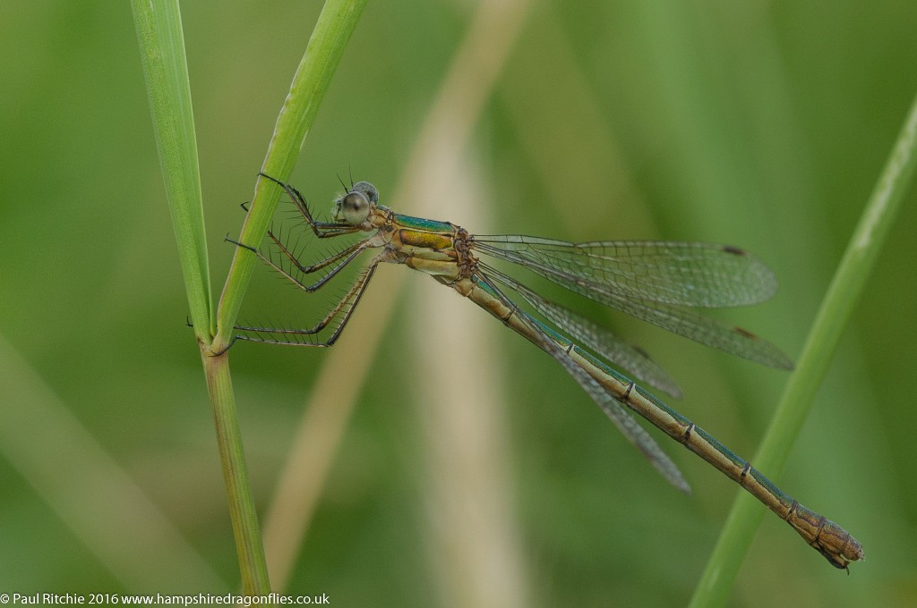 Common Emerald Damselfly (Lestes sponsa) - female