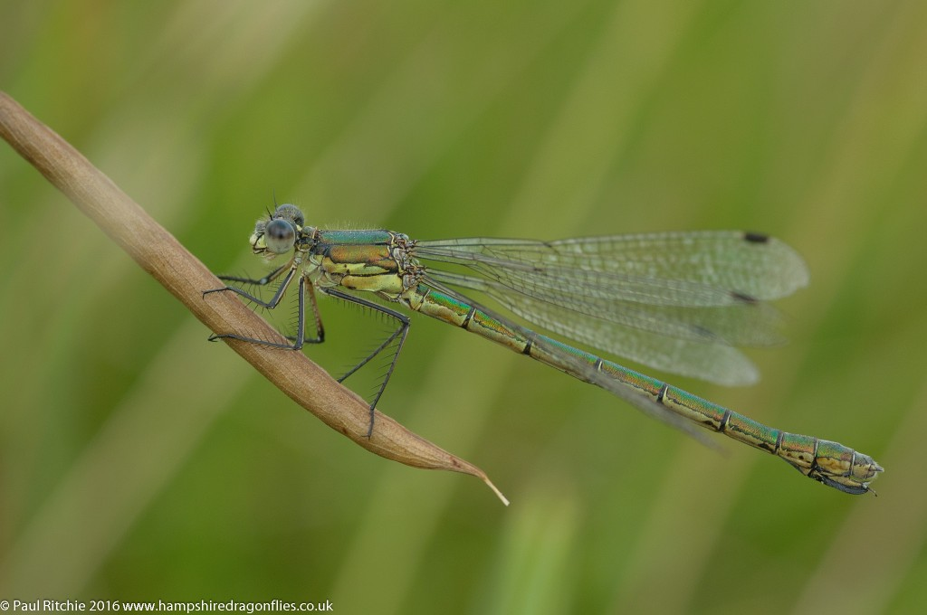Scarce Emerald Damselfly (Lestes dryas) - female