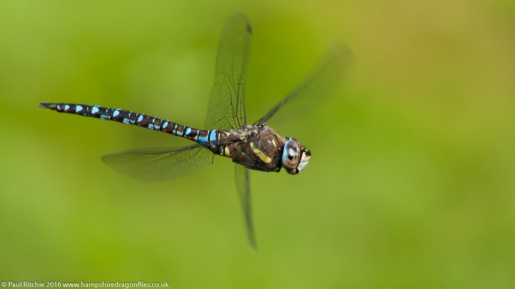 Migrant Hawker (Aeshna mixta) - male in-flight