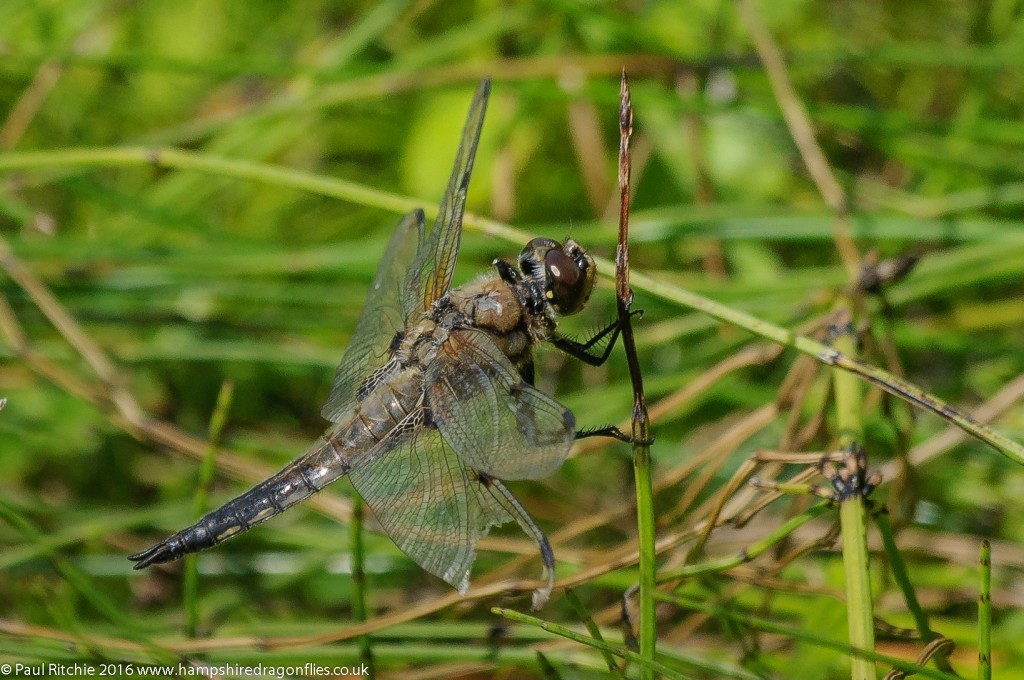 Four-spotted Chaser (Libellula quadrimaculata) - male