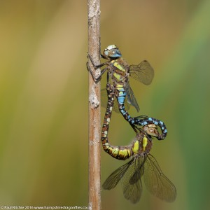 Migrant Hawker (Aeshna mixta) - pair in-cop