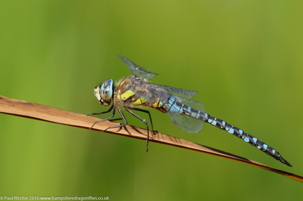 Migrant Hawker (Aeshna mixta) - male