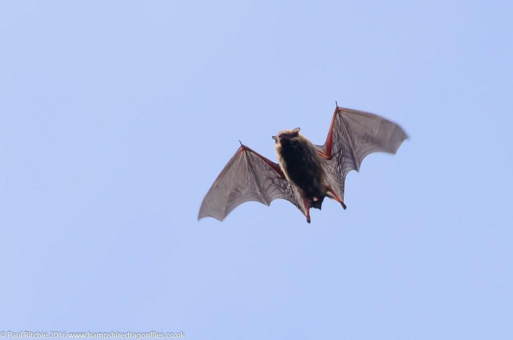 Noctule Bat (Nyctalus noctula)