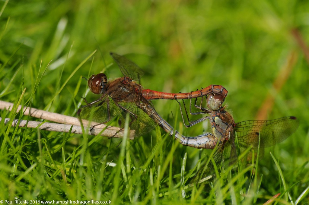 Common Darter (Sympetrum striolatum) - pair in-cop