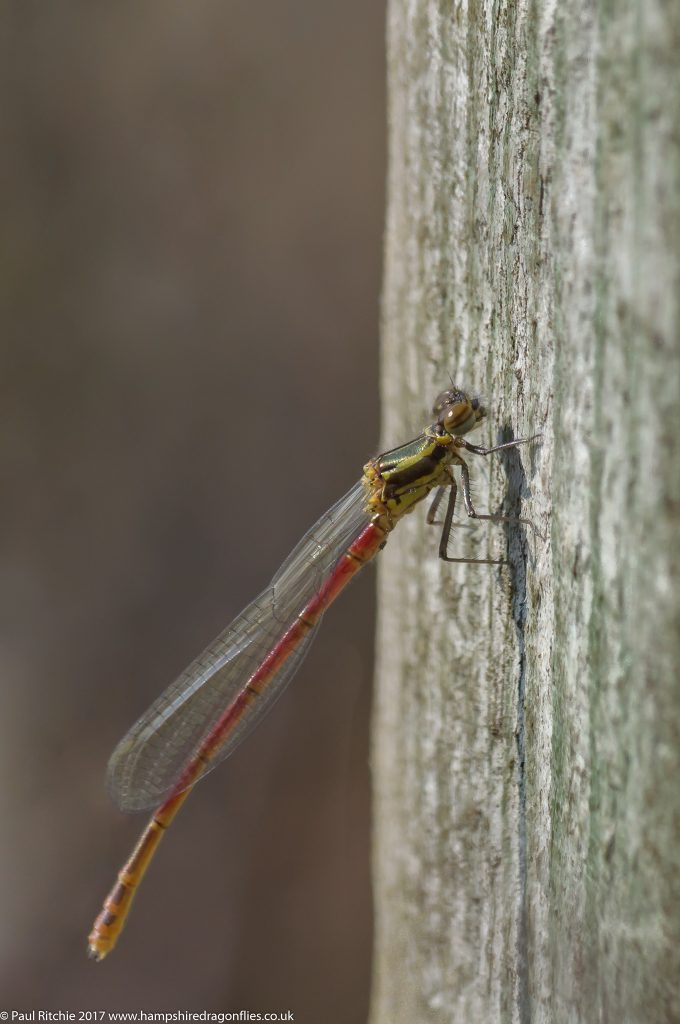 Large Red Damselfly (Pyrrhosoma nymphula) - teneral male