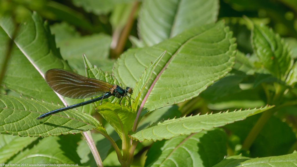 Beautiful Demoiselle (Calopteryx virgo) - immature male