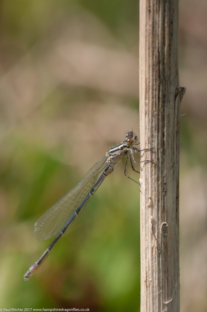 Azure Damselfly (Coenagrion puella) - immature male