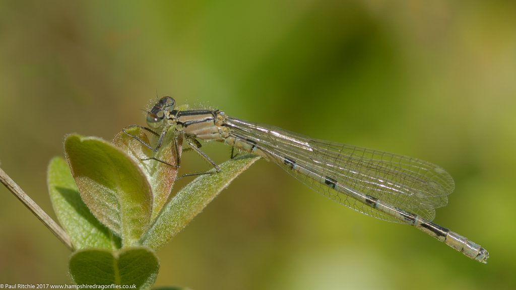 Common Blue Damselfly (Enallagma cyathigerum) - immature male