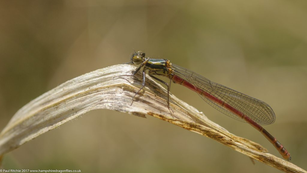 Large Red Damselfly (Pyrrhosoma nymphula) - immature male