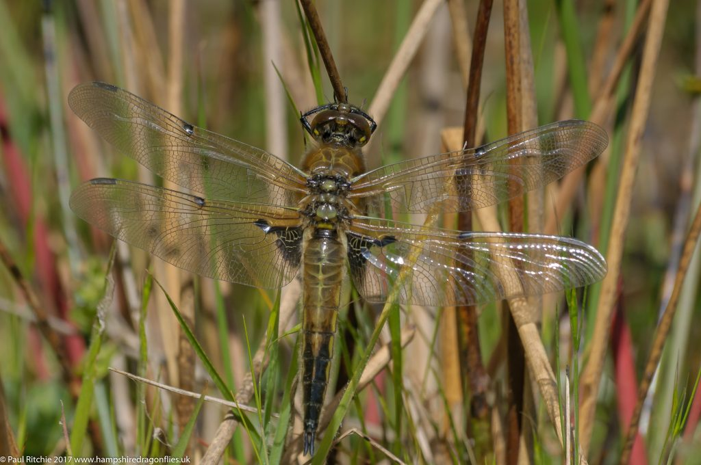 Four-spotted Chaser (Libellula quadrimaculata) - teneral female