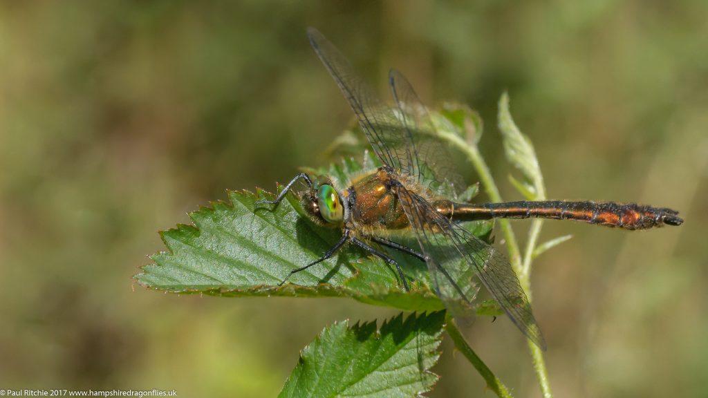 Downy Emerald (Cordulia aenea) - male