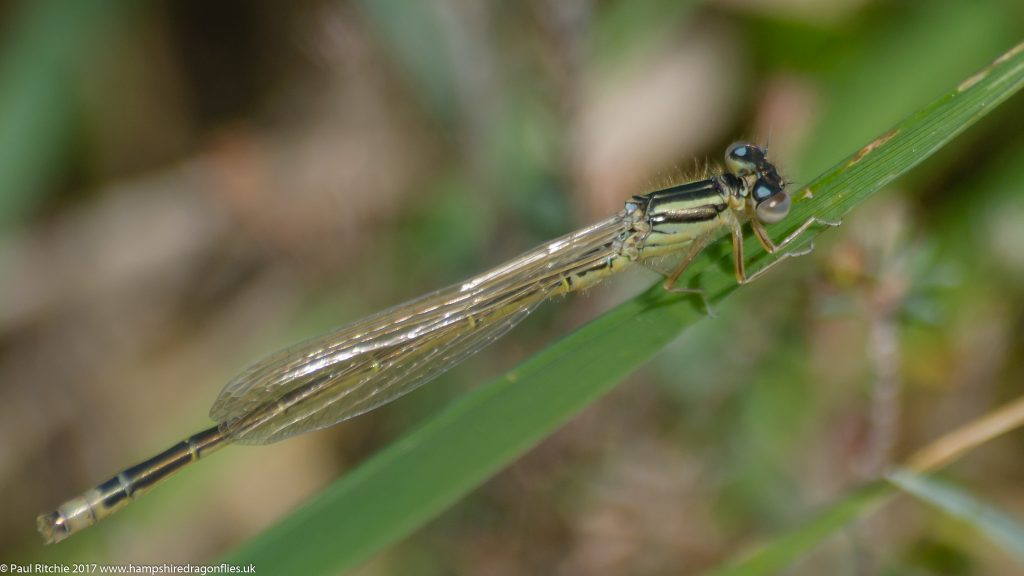 Scarce Blue-tailed Damselfly(Ischnura pumilio) - immature male