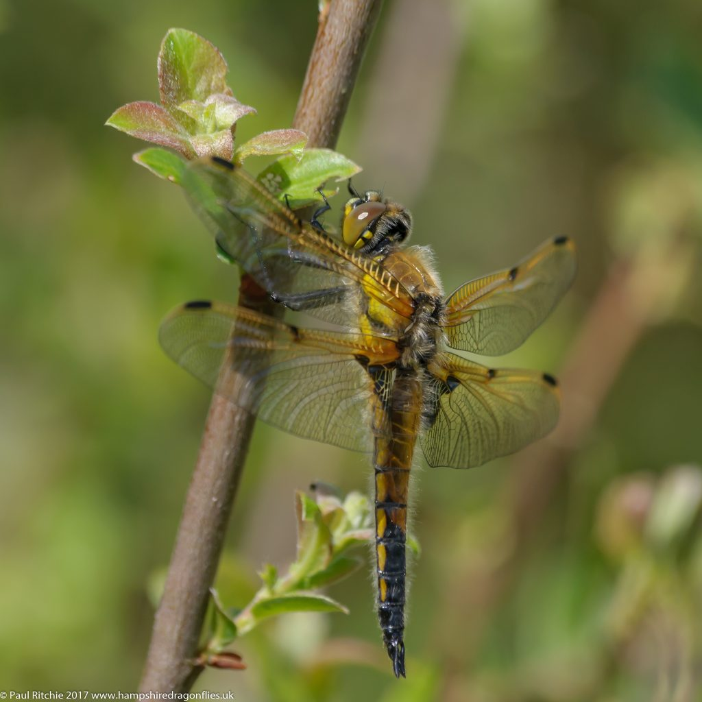 Four-spotted Chaser (Libellula quadrimaculata) immature male